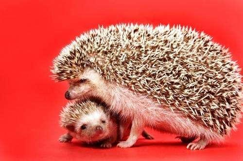 Erizos de tierra (african hedgehog)