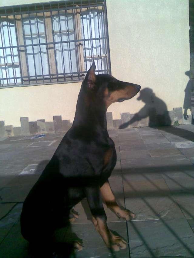 Fotos de Vendo cachorros doberman y pinscher miniatura 6