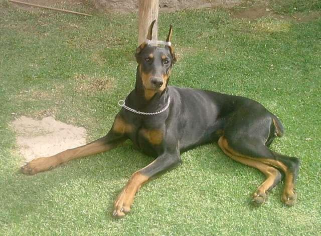 Fotos de Vendo cachorros doberman y pinscher miniatura 3