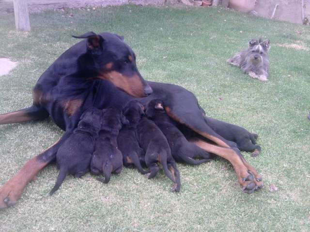 Fotos de Vendo cachorros doberman y pinscher miniatura 5