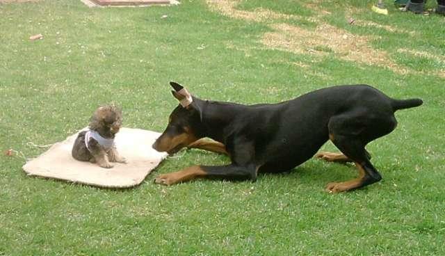 Fotos de Vendo cachorros doberman y pinscher miniatura 2