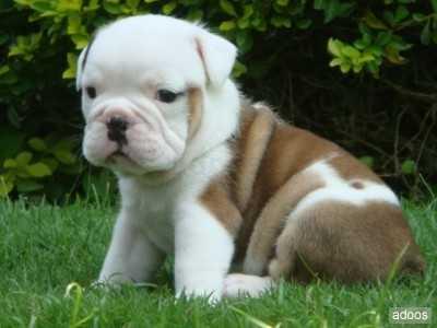Hermosos cachorros de bulldog inglés (gratis)