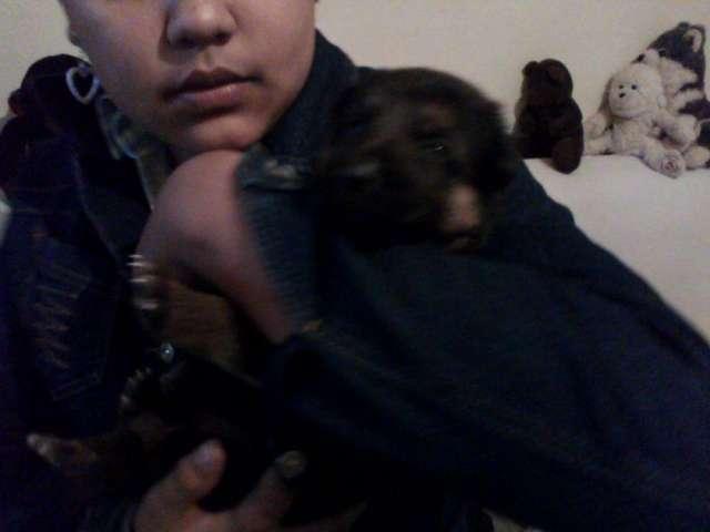 Venta de cachorro pastor aleman manto negro y colorado