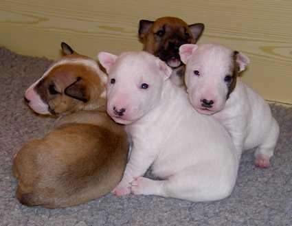 Hogar planteadas: cachorros bull terrier