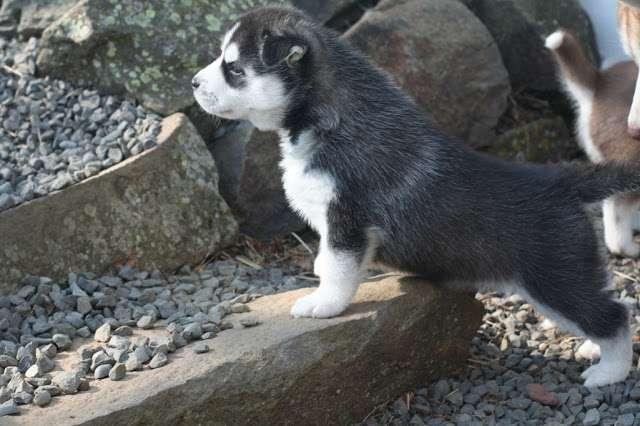 Regalo siberian husky cachorros para un buen hogar