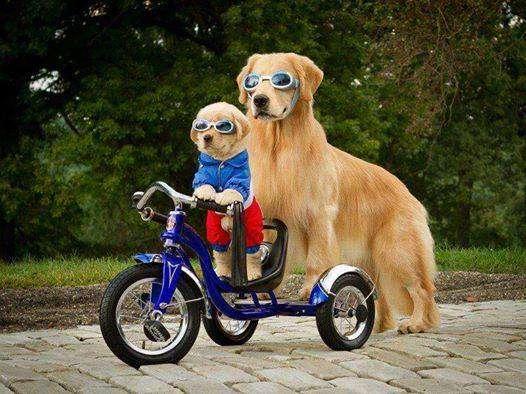 Hermosos cachorros golden retriever vendo