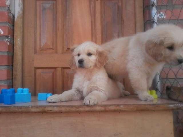 Cachorro golden retriever un buen regalo
