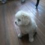 En venta hermosos cachorros Chapicitos, raza pequeña