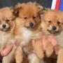 Perritos de Pomeranian en venta