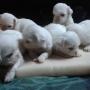 vendo hermosos cachorros pequines alvino