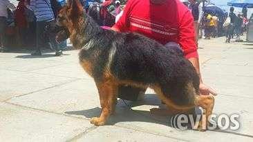 Hermoso cachorro pastor aleman vendo