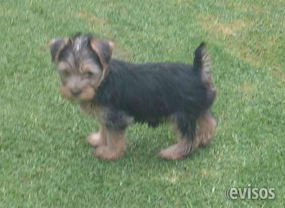 Vendo hermosos cachorros yorkshire terrier