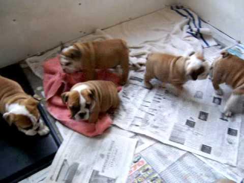 Cachorros de bulldog inglés para regalo